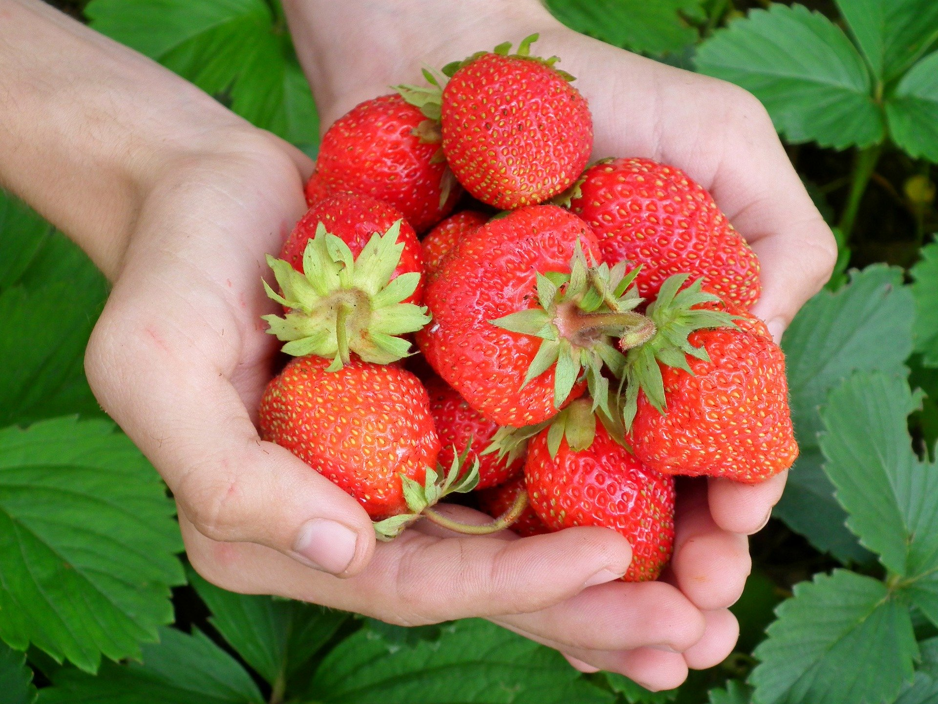 Strawberries provide a multitude of benefits for your gut.